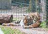 Naples Zoo - Malayan Tiger