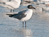 Gulf of Mexico Beach - Laughing Gull