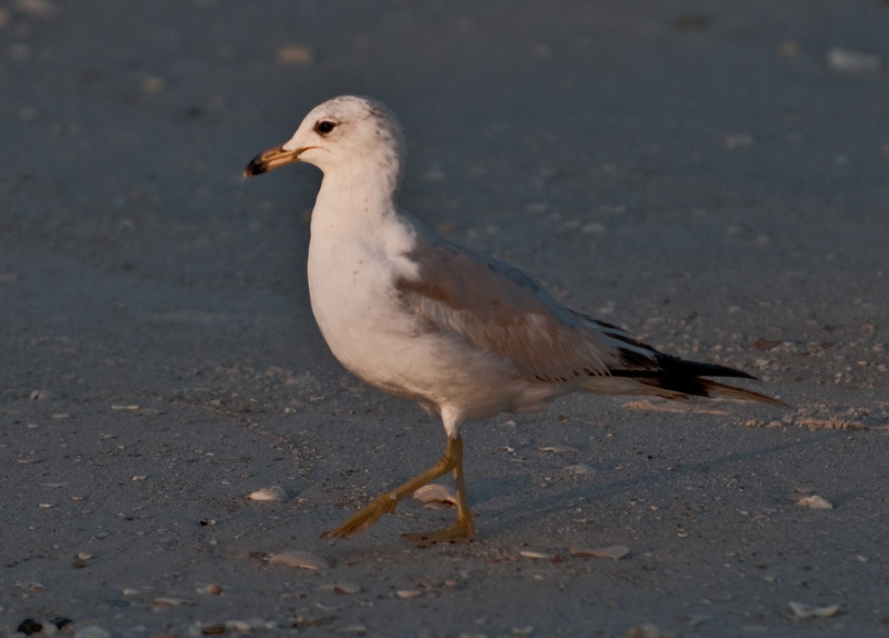 Gulf of Mexico Beach - Ring-billed Gull