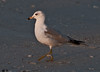 Gulf of Mexico Beach - Ring-billed Gull