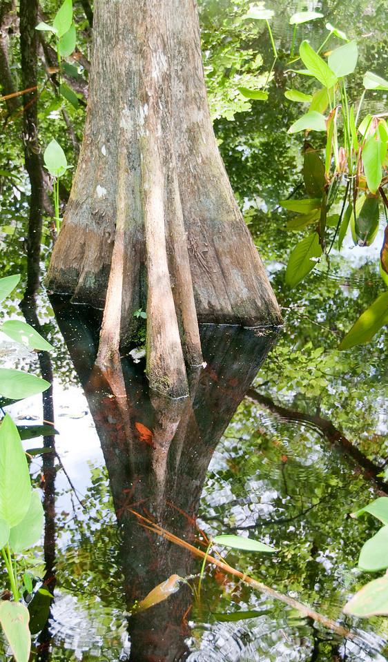 Corkscrew Swamp Sanctuary - Cypress Tree Reflection