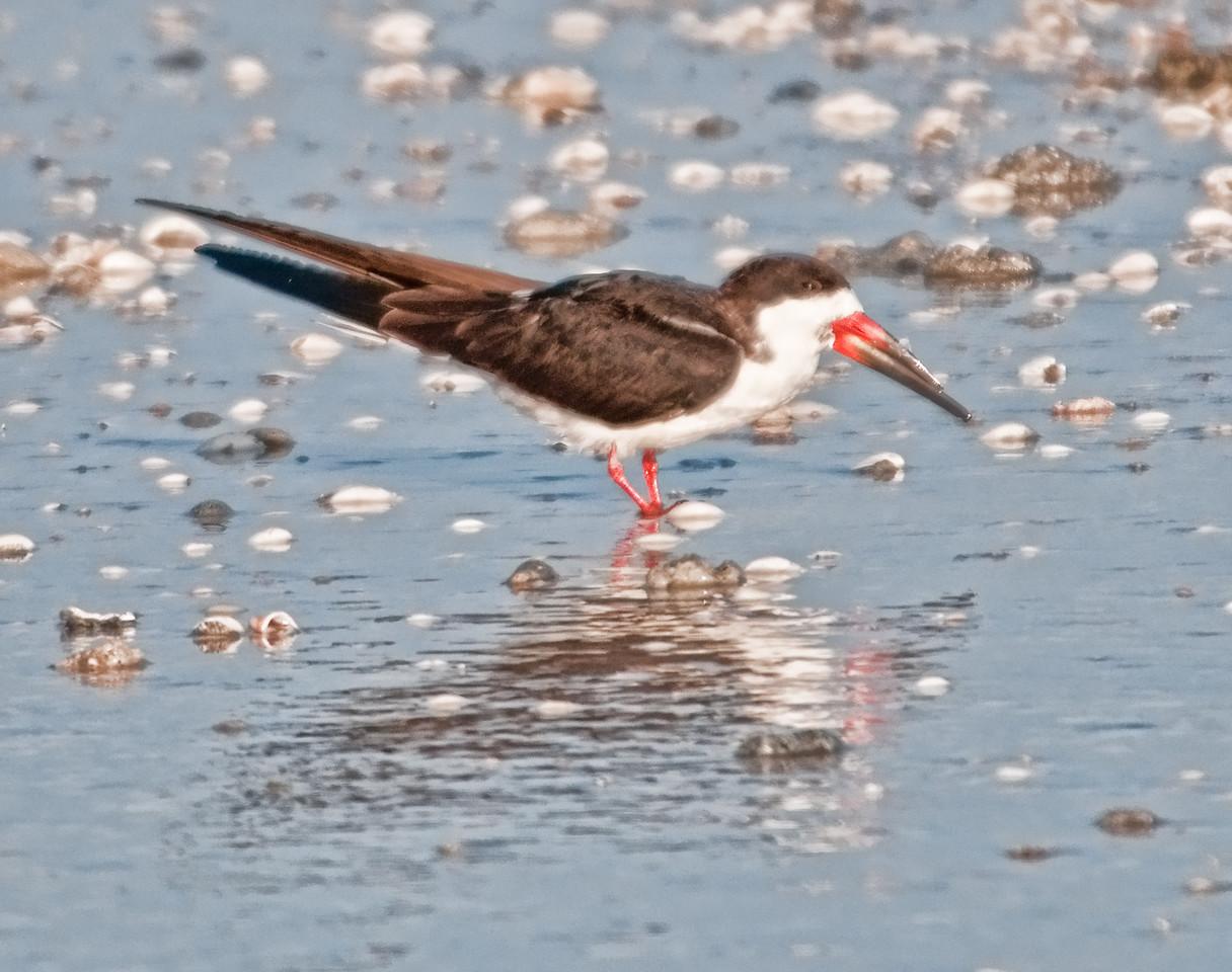 Gulf of Mexico Beach - Black Skimmer