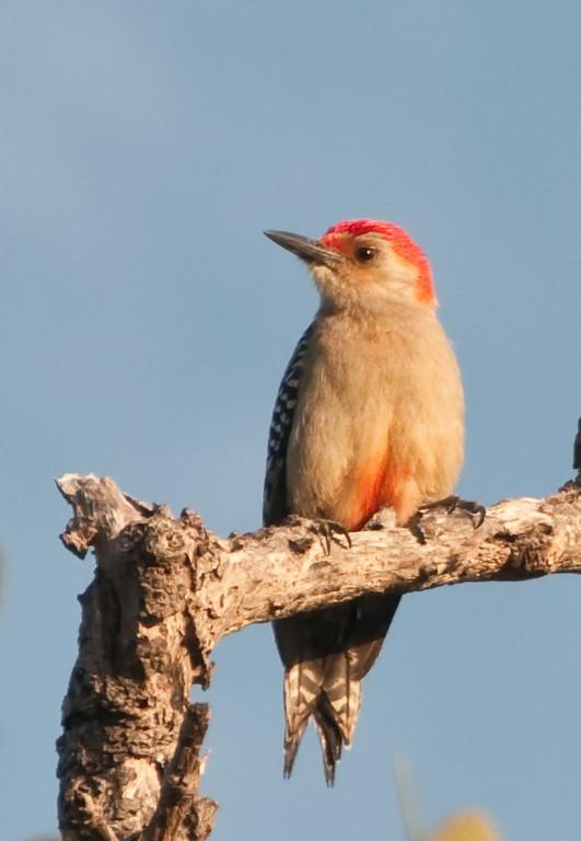 Boardwalk swamp walk to the Gulf of Mexico Beach - Male Red-bellied Woodpecker