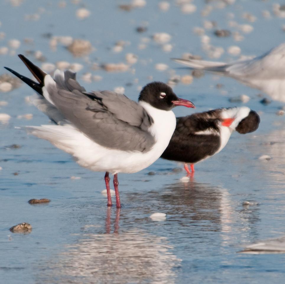 Gulf of Mexico Beach - Laughing Gull