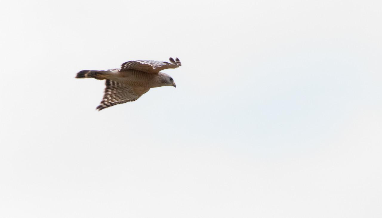 Corkscrew Swamp Sanctuary - Red-Shouldered Hawk