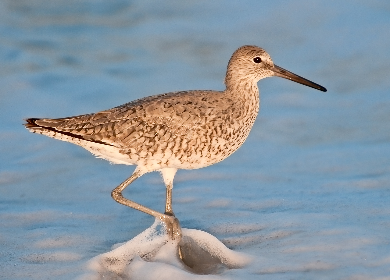 Gulf of Mexico Beach - Willet