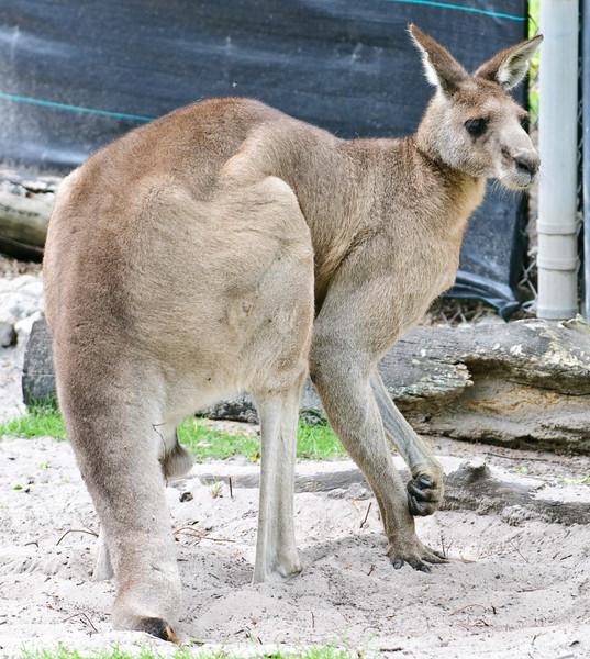 Naples Zoo - Kangaroo