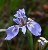 Corkscrew Swamp Sanctuary - Blue Flag Iris