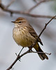 Palm Warbler taken at Wakodahatchee Wetlands