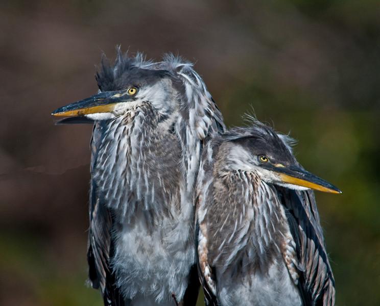 Juvenile Great Blue Herons taken at Wakodahatchee Wetlands