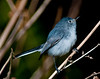 Blue-Gray Gnatcatcher taken at Arthur R. Marshall Loxahatchee National Wildlife Refuge