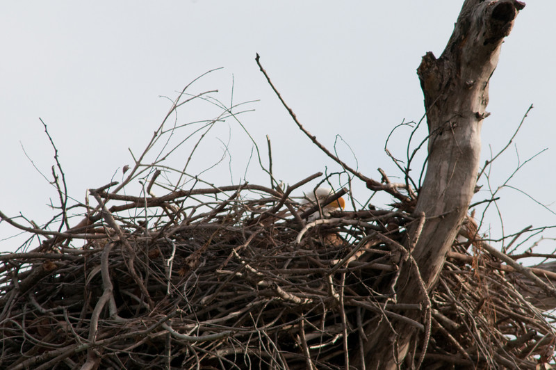 Palm Beach Eagle's Nest with one of the parents