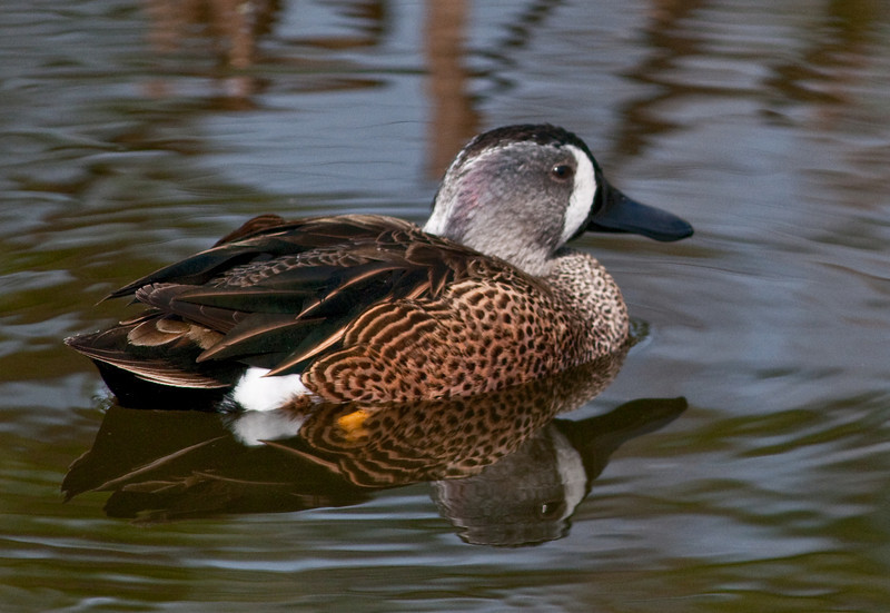 Blue-winged Teal Duck and reflection  taken at Wakodahatchee Wetlands
