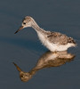 Black-necked Stilt - I can see my reflection