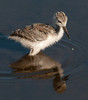 Black-necked Stilt - There goes a little water droplet