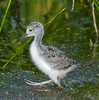 Baby Black-necked Stilt - Off I go again