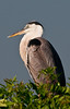 Great Blue Heron I used a polarized filter