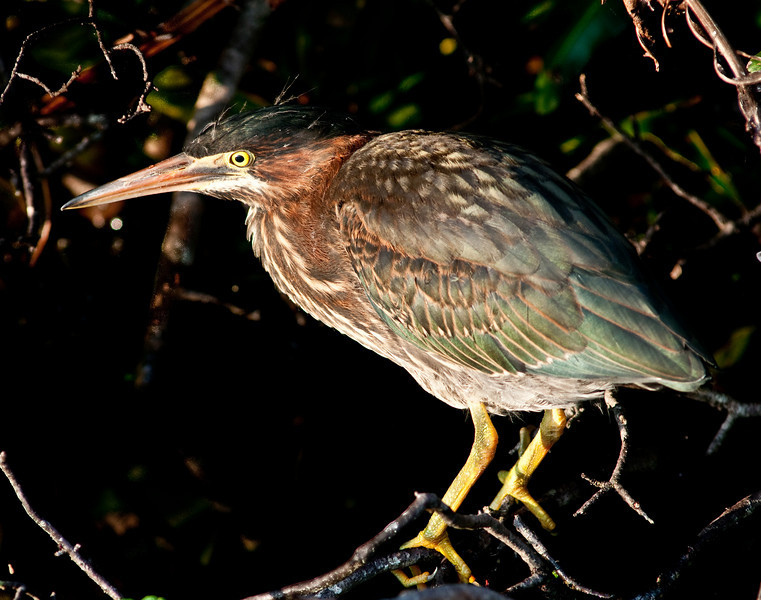 Morning light on a Green Heron