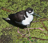 A Black-necked Stilt baby hiding under her father's feathers