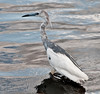 Immature Little Blue Heron