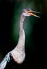 Female Anhinga in the Spotlight