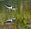 Black-necked Stilt - See my reflection
