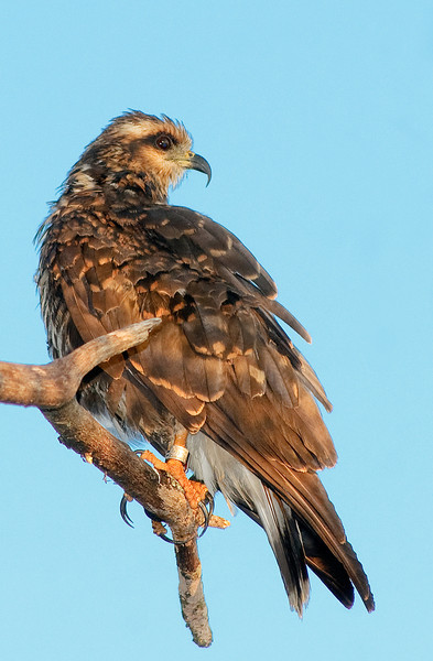 Snail Kite - Just keeping an eye on you