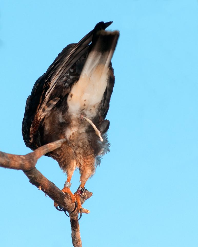 Snail Kite - What I think of my last flight photo! :-)
