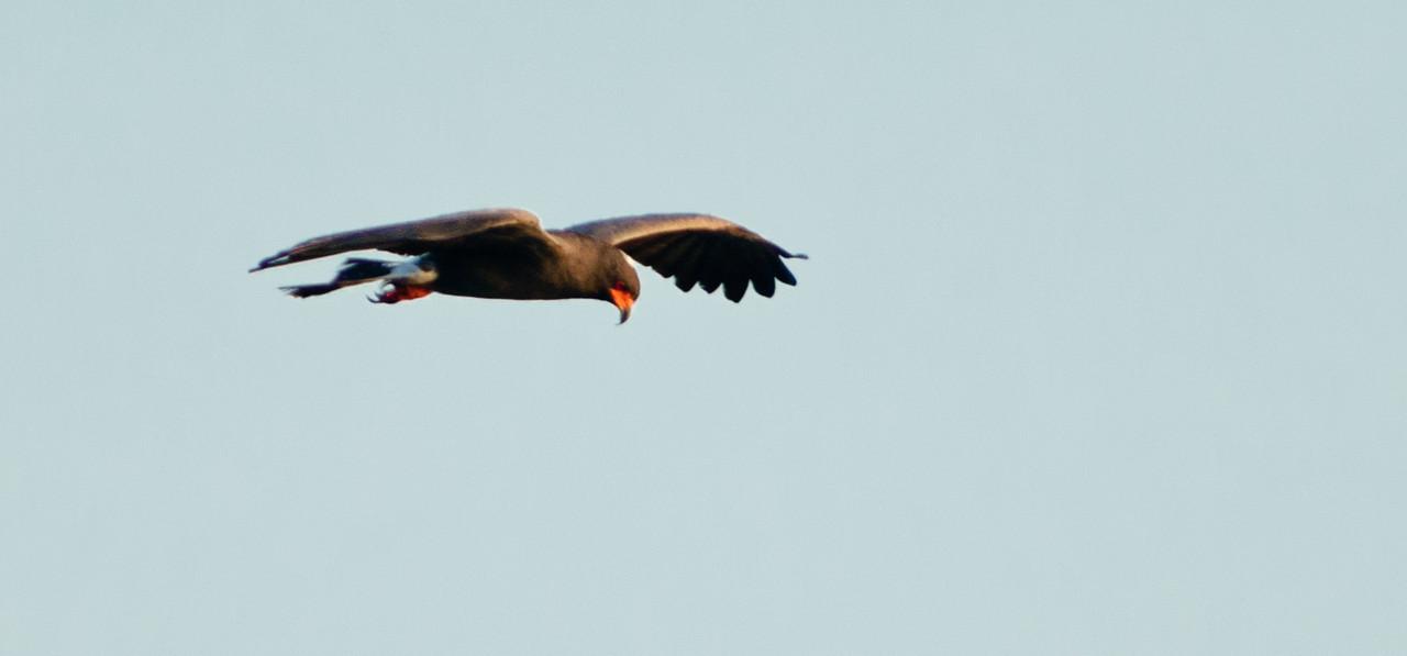Snail Kite - In flight