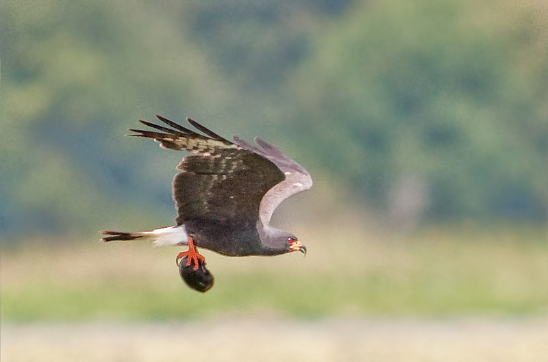 Prairie Lake - Male adult Snail Kite in flight with an Apple Snail