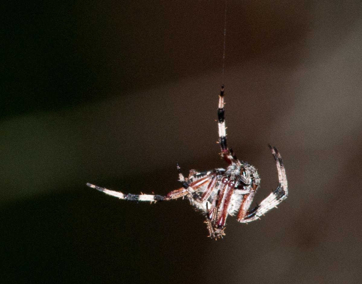 Prairie Lake - Spotted Orbweaver Spider