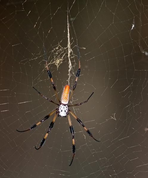 Prairie Lake - Golden-Silk Spider
