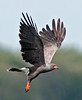 Prairie Lake - Male adult Snail Kite in flight