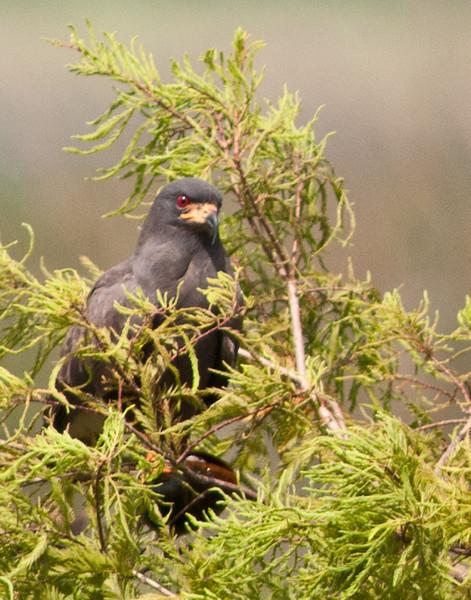 Prairie Lake - Snail Kite hiding in a Cypress Tree