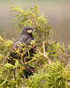 Prairie Lake - Snail Kite hiding in a Cypress Tree