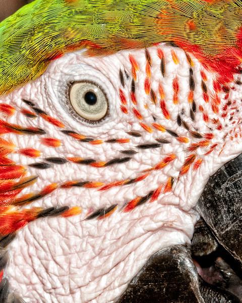 Butterfly World - Green-winged  McCaw