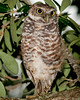 Burrowing Owl at Brian Piccolo Park - I'm up in the tree to keep safe from the passer-by's