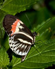 Butterfly World - Piano keys Butterfly (heliconius hybrids)