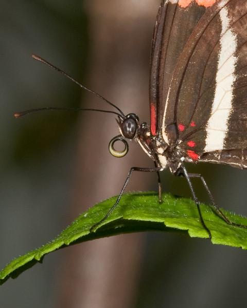 Butterfly World - Zebra Longwing