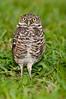 Burrowing Owl at Brian Piccolo Park - Eyes forward