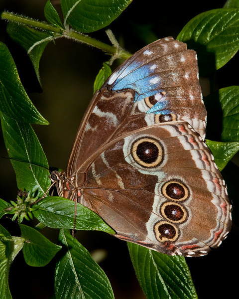Butterfly World - Morpho Peleides
