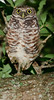 Burrowing Owl at Brian Piccolo Park - One leg up