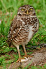 Burrowing Owl at Brian Piccolo Park - Just squinting a little