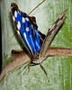 Butterfly World - Tropical Blue Wave Butterfly (Mycelia cyaniris)