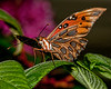 Butterfly World - Gulf Fritillary