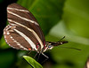 Butterfly World - Zebra Longwing
