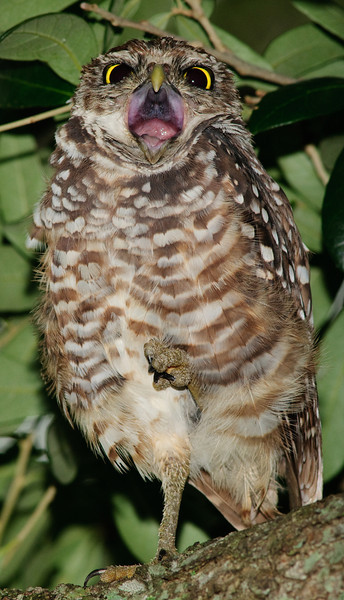 Burrowing Owl at Brian Piccolo Park - Leave me along