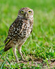 Tradewinds Park - Burrowing Owl