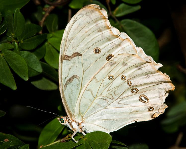 Butterfly World - Morpho Polyphemus