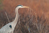 Robert Amoruso Fieldtrip - Great Blue Heron with nesting material